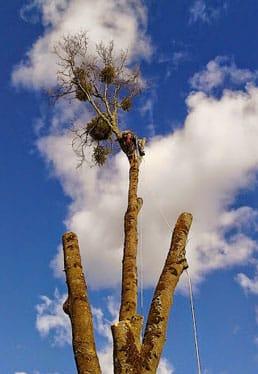 Gerry-Rylander-Arborist-in-tree