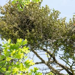 mistletoe growing on an oak branch